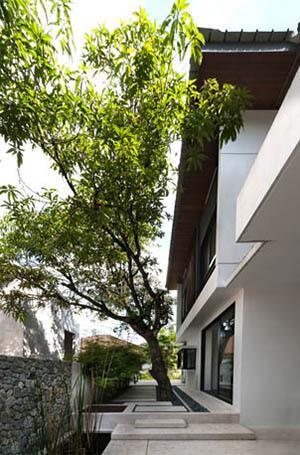 ต้นมะม่วง ต้นไม้ใหญ่ เสริมสิริมงคล ให้คนในบ้านร่ำรวย