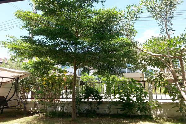 ต้นหูกระจง ต้นไม้ใหญ่ เสริมด้านบารมี