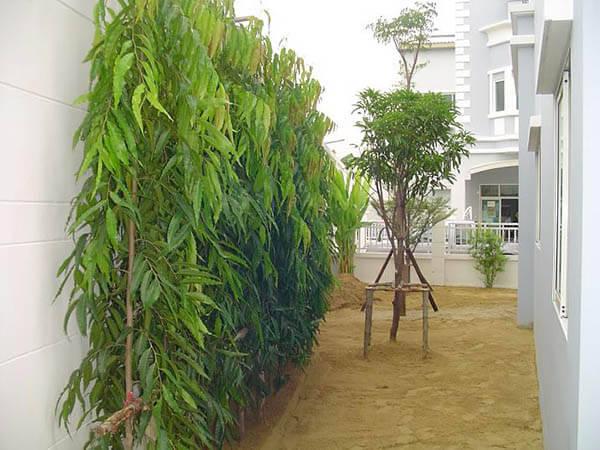 อโศกอินเดีย ต้นไม้ใหญ่ กันฝุ่นละออง