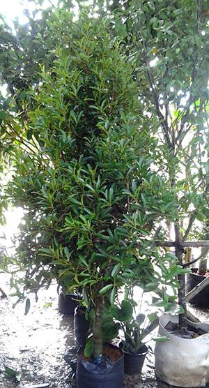 สารภี ต้นไม้ใหญ่ ดูแลง่าย