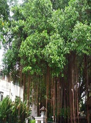ต้นไทรย้อย ต้นไม้ใหญ่ ช่วยดูดสารพิษ